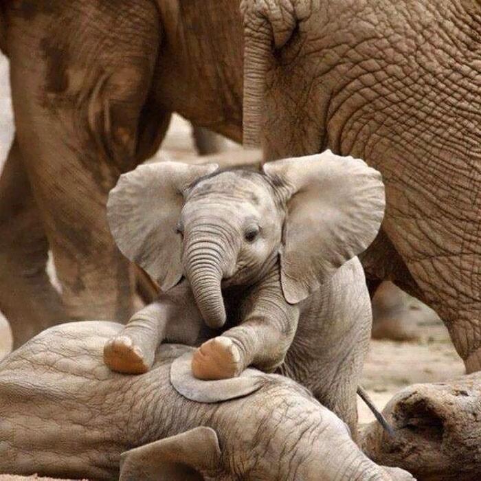Детёныши слонов, которые заставят вас улыбнуться