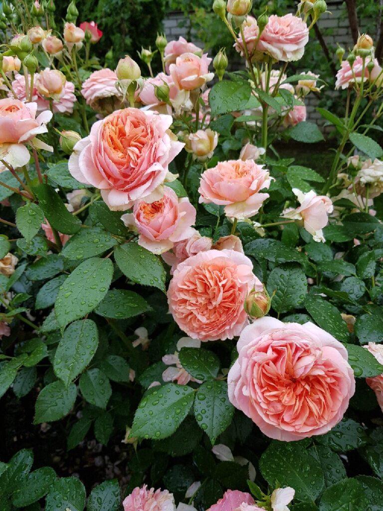 Выращиваем пышные и яркие розы. Советы из сети