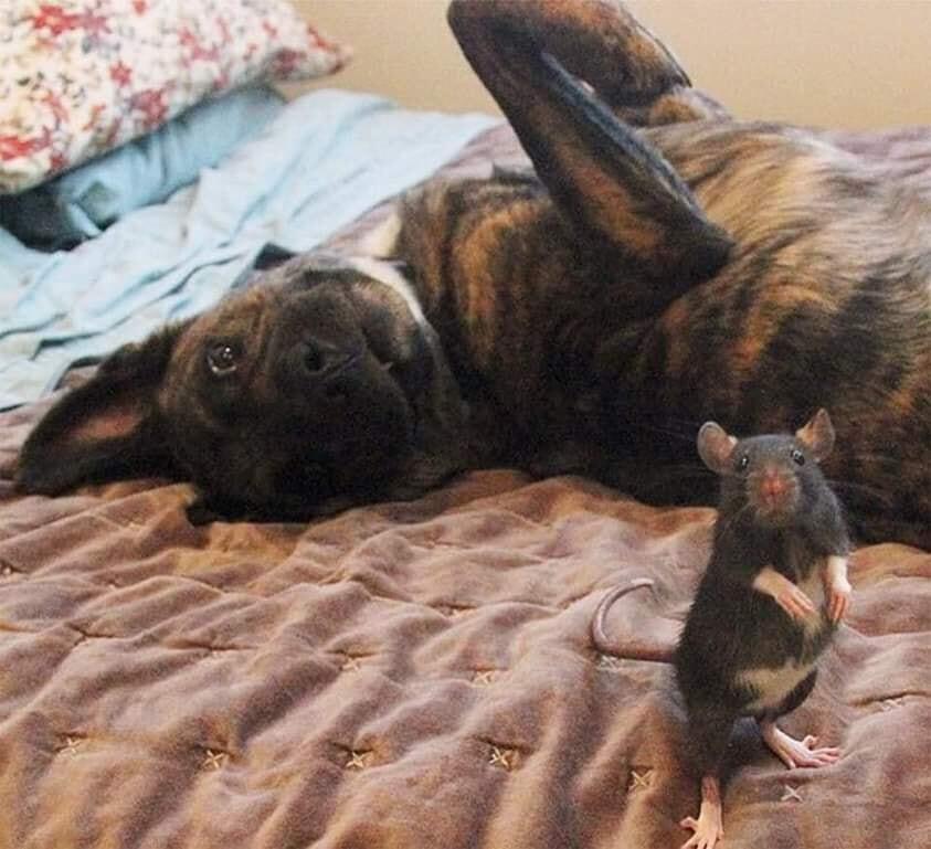 Истинным друзьям посвящается... Рассказ из сети про дружбу овчарки и крыски