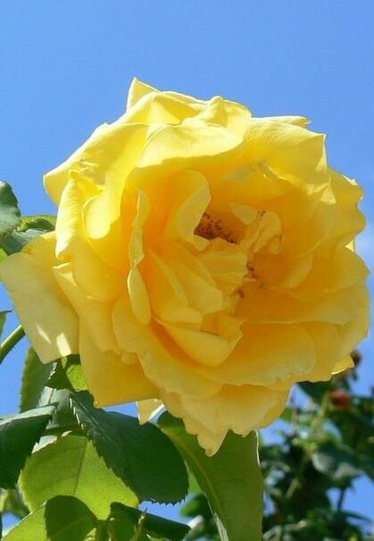 Летние садовые розы