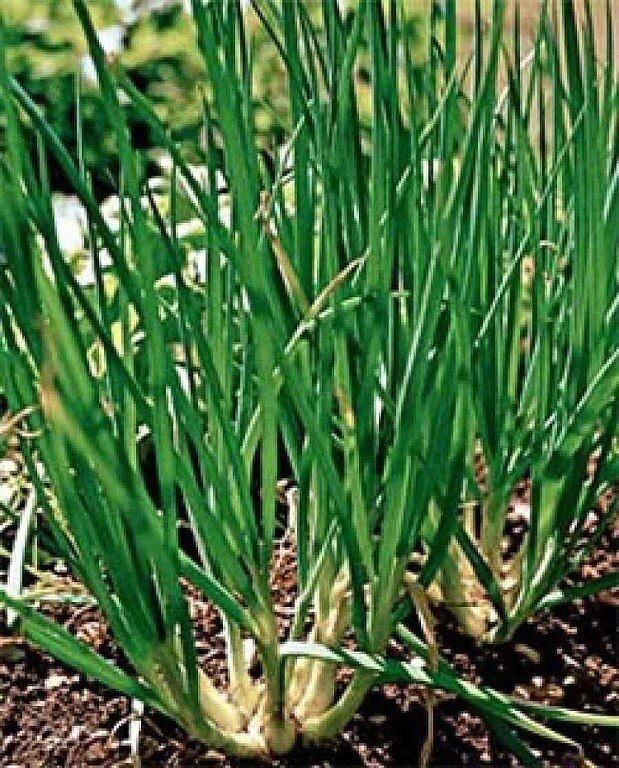 Выращивание лука. Советы из сети