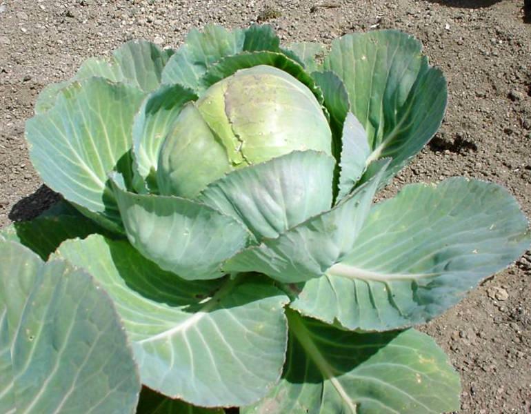 Выращивание капусты. Советы опытных огородников