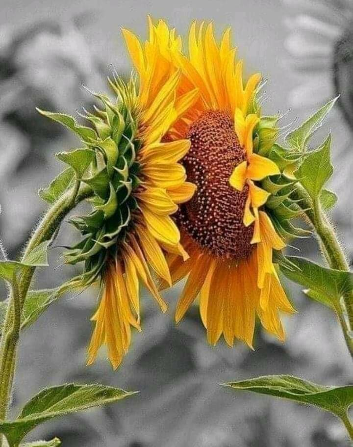 Известно, что подсолнухи поворачиваются в сторону солнца