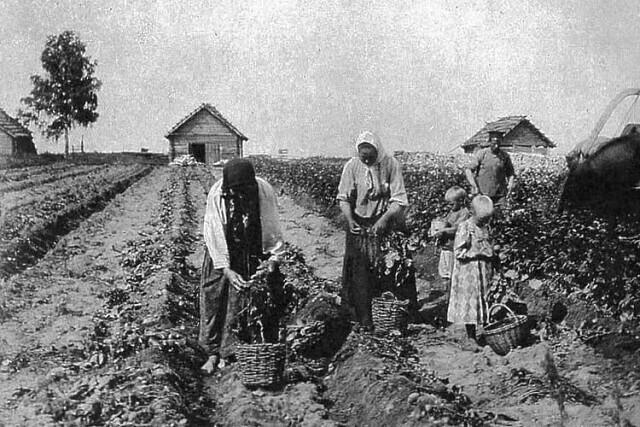 Когда на Руси появился картофель