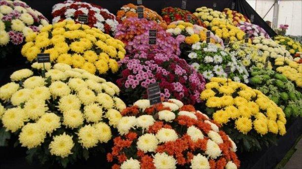 Хризантема - самый популярный осенний цветок Японии