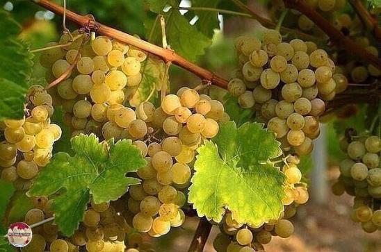 Как вырастить саженец винограда с черенка
